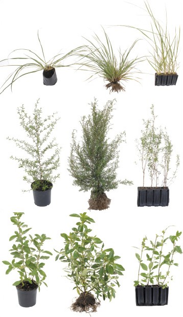 Figure 2: Toetoe (top), manuka (middle) and karamu (lower) plants raised for nine months in the larger PB3 containers or equivalent size plastic containers (left); in open-ground nursery beds (centre); and in smaller Hillson root trainers (right).