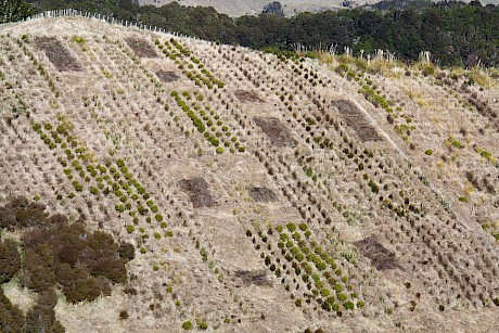 Figure 4: Planting trial 2 years after establishment as a Randomised Complete Block design comprising 12 tree rows comparing performance of 10 native species.