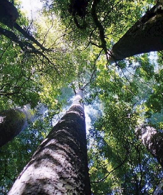 Kahikatea • Tāne's Tree Trust